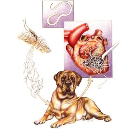 Gyógyítható-e a szívférgesség? | Állatorvosi Rendelő, állatorvos Felsőzsolca, Miskolc